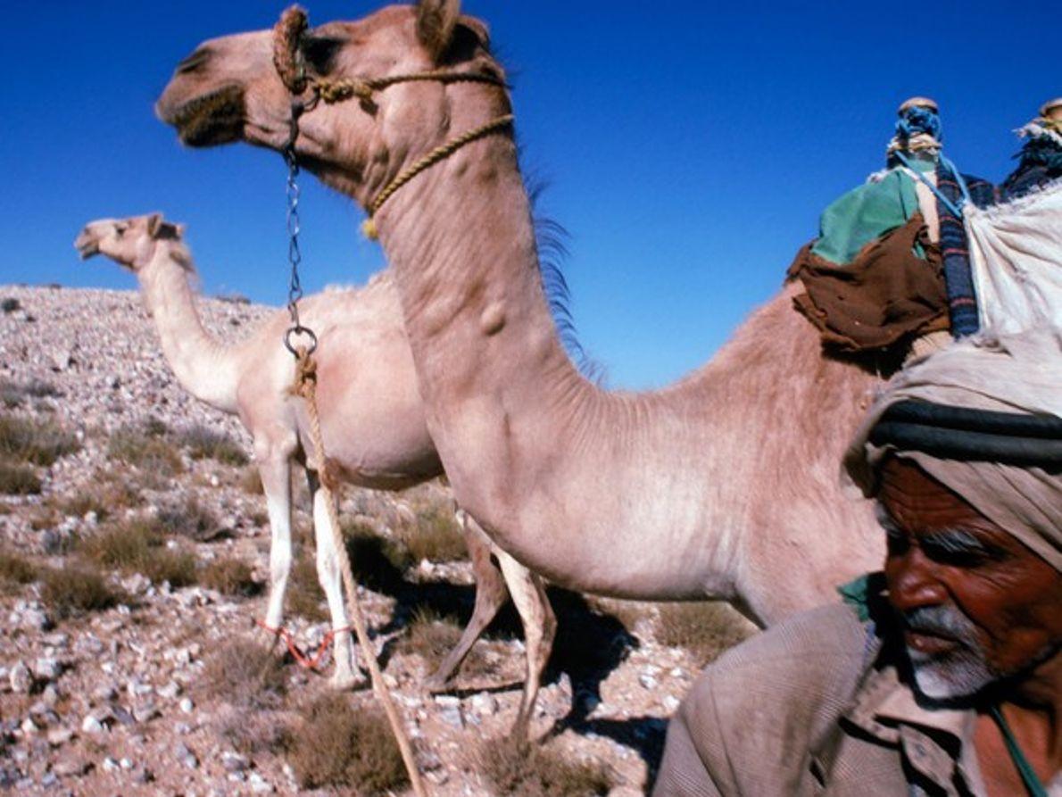 Beduinos y camellos