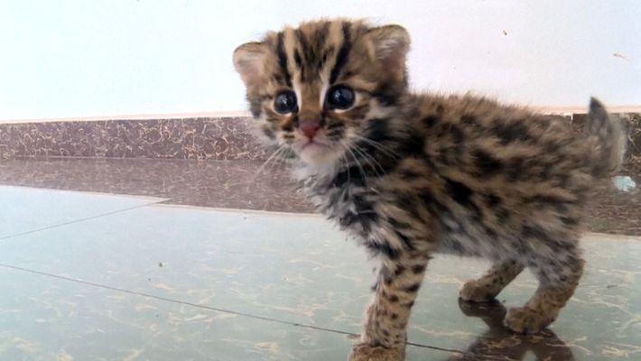 """Este no es un """"gatito"""" cualquiera, es un gato leopardo rescatado"""