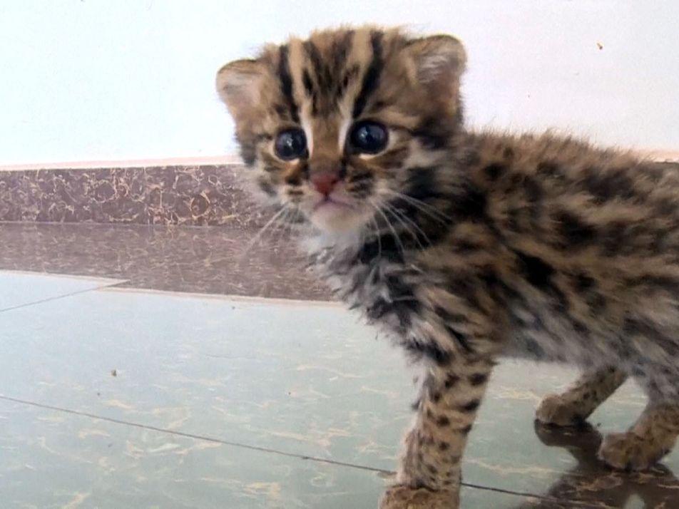 """Este no es un """"gatito"""" cualquiera: es un gato leopardo rescatado"""