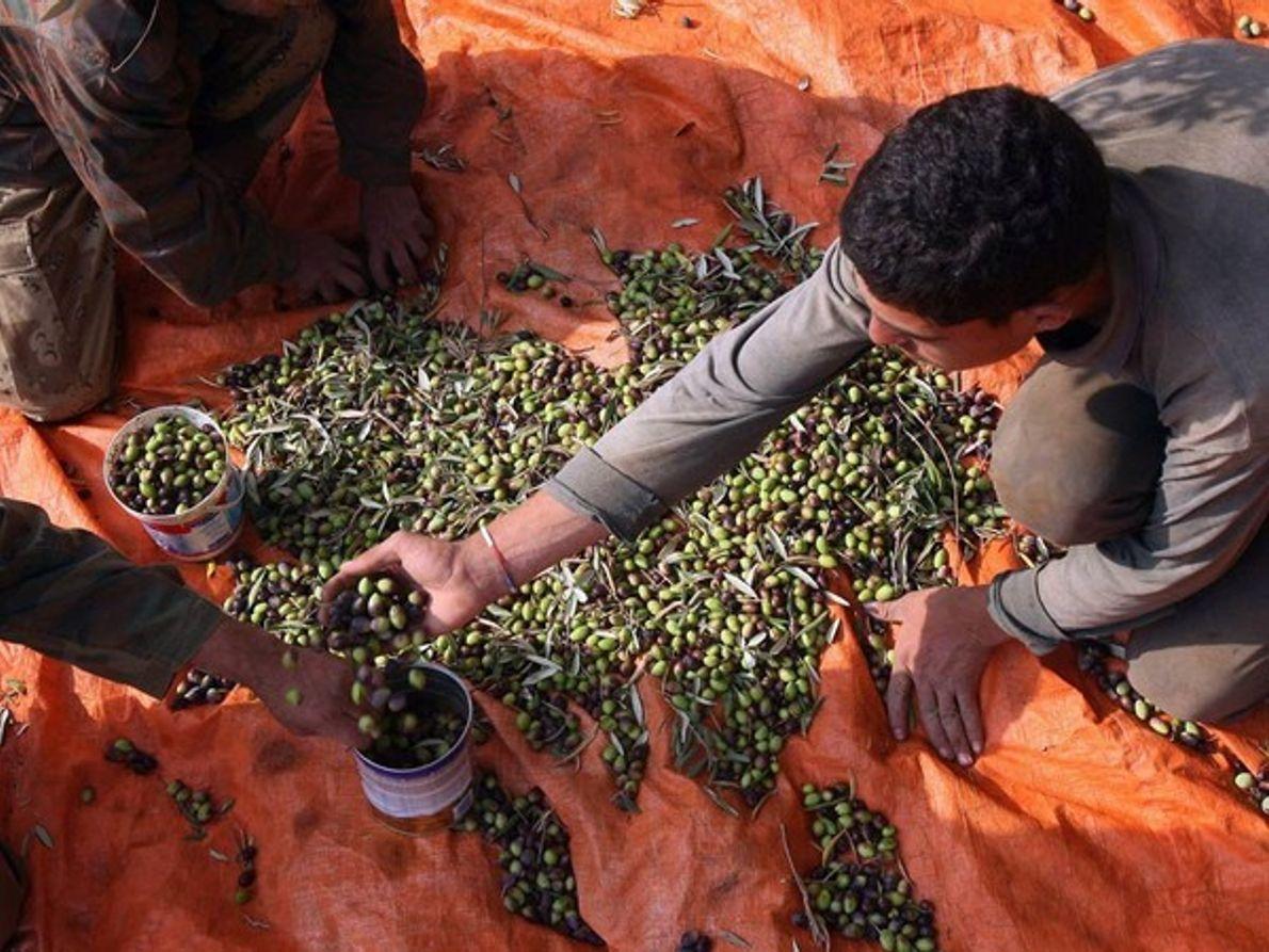 Agricultores de olivas, Ajlun