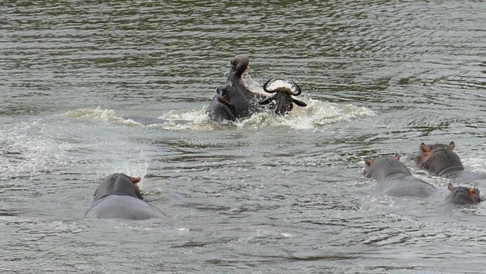 """Un afortunado ñu logra huir de dos cocodrilos """"gracias"""" a unos hipopótamos"""