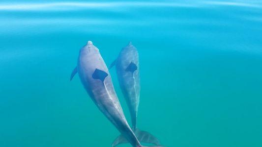 """Unos delfines de nariz de botella amigos """"se dan la mano"""""""