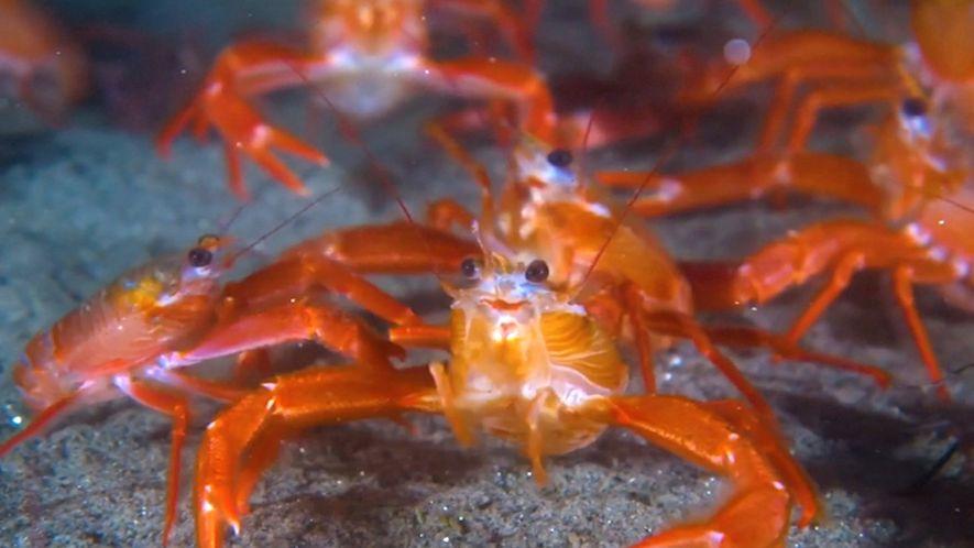 Miles de langostillas rojas aparecen en las playas de California
