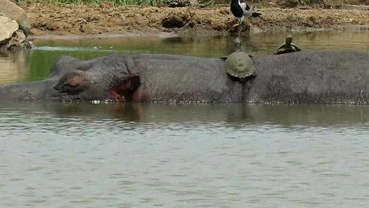 Unas tortugas oportunistas toman el sol en la espalda de un hipopótamo
