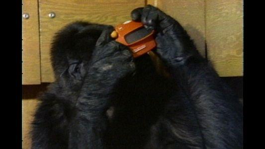 Observa cómo Koko utiliza en lenguaje de signos en un documental de 1981