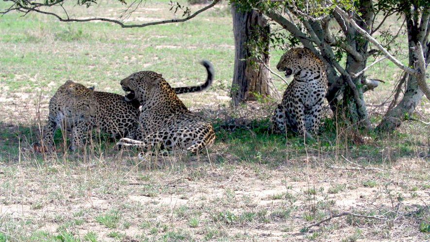 Un leopardo macho se aparea con dos hembras hermanas