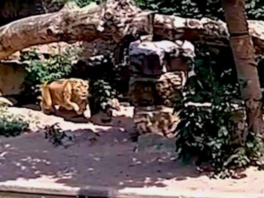 Una leona se abalanza sobre una garza desprevenida en un zoo de Ámsterdam