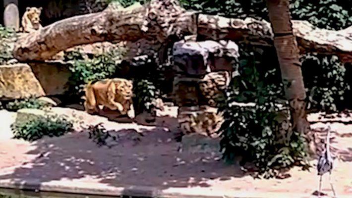 Un león se abalanza sobre una garza desprevenida en un zoo de Ámsterdam