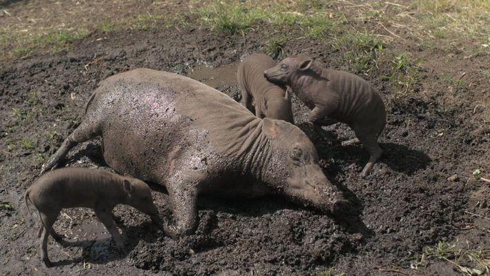 Nacen unos inusuales babirusas trillizos en el zoo de Chester