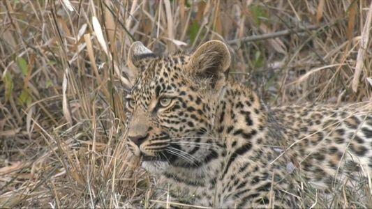 Observa cómo juegan una madre leopardo y su cría