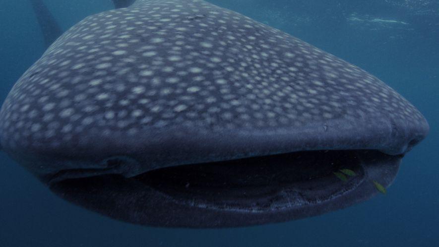 Cinco grandes tiburones que dominan el mar