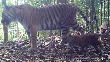 Estos cachorros de tigre de Sumatra son una señal de esperanza para su especie