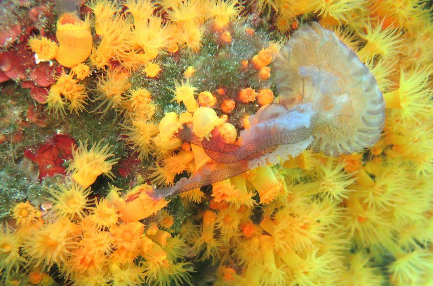 Este es el primer vídeo de unos corales que colaboran para devorar a una medusa
