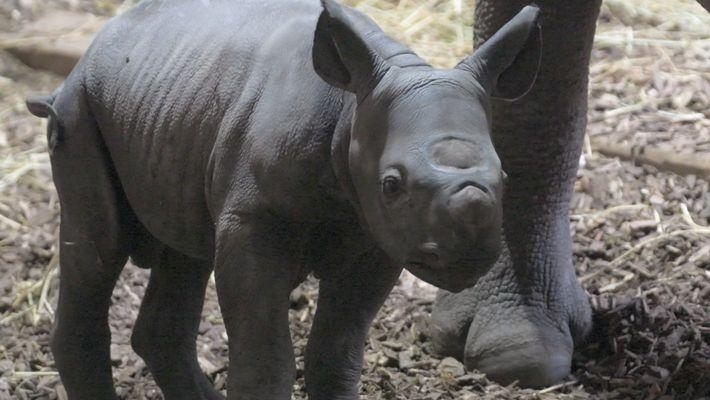 Nace en el zoo de Chester un rinoceronte negro oriental, especie en peligro de extinción