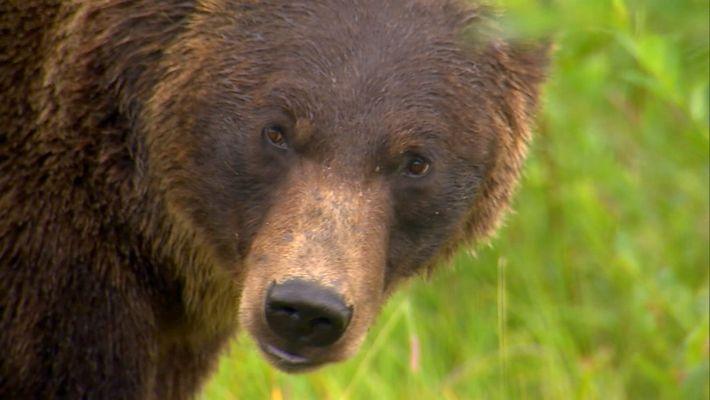 El majestuoso oso grizzly y su apetito insaciable