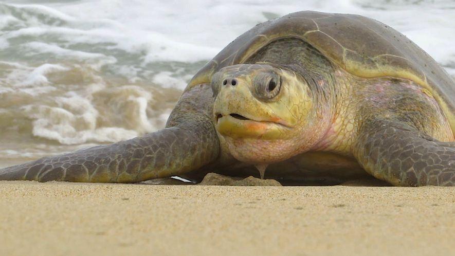 Hallan muertas a 300 tortugas oliváceas en peligro de extinción