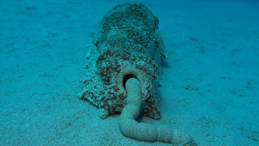 ¿Sabías que los excrementos de pepino de mar son beneficiosos para el ecosistema?