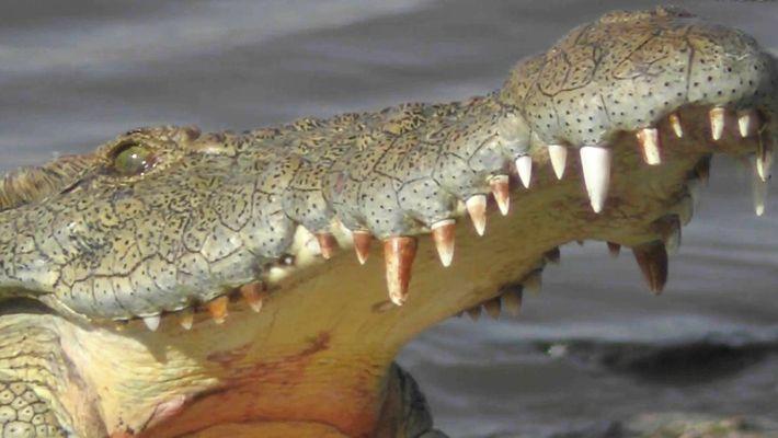 Los cocodrilos del río Mara