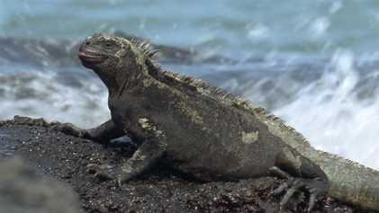 Las iguanas marinas: el único lagarto que nada en el mar
