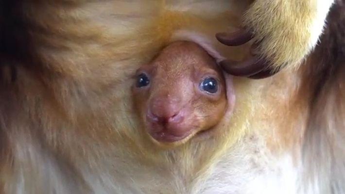 Una cría de canguro arborícola asoma la cabeza en el marsupio de su madre