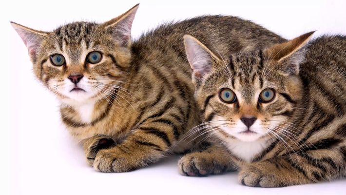 El gato montés escocés está desapareciendo: ¿puede salvarse?