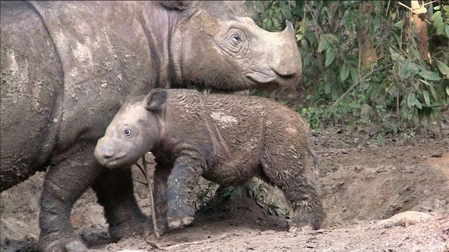 Un plan sin precedentes para salvar al rinoceronte de Sumatra