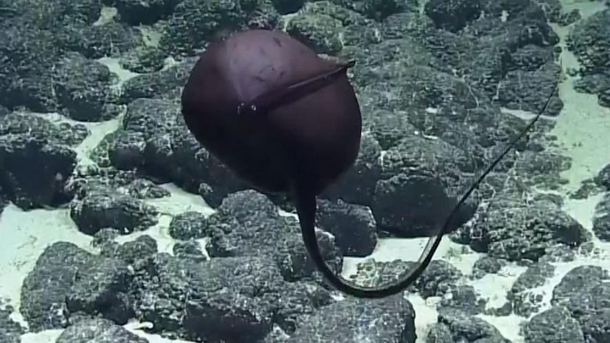 Un pez pelícano que se hincha y se deshincha sorprende a un equipo científico
