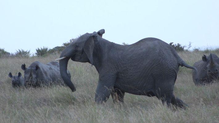 Unos rinocerontes negros se enfrentan a leones y elefantes