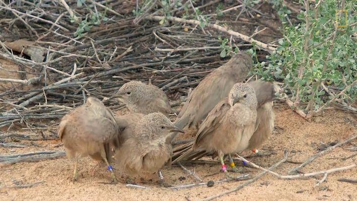 Estas aves se ocultan para sus encuentros sexuales