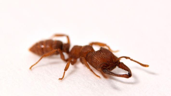 La mordedura de esta hormiga es el movimiento animal más rápido del planeta