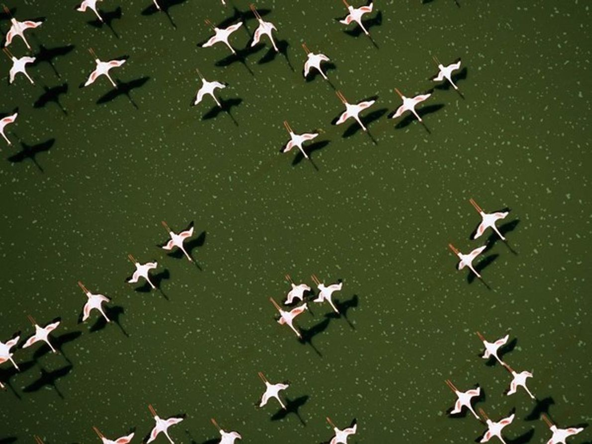 Flamencos, lago Magadi