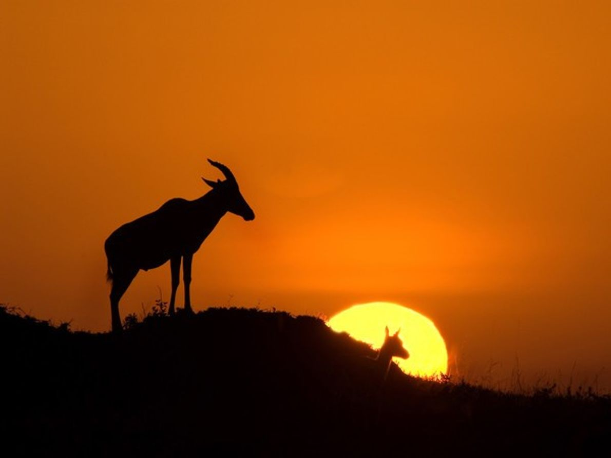 Puesta de sol en el parque de Masai Mara Puesta del sol