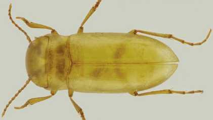 Identifican el primer escarabajo portugués que vive exclusivamente en aguas subterráneas