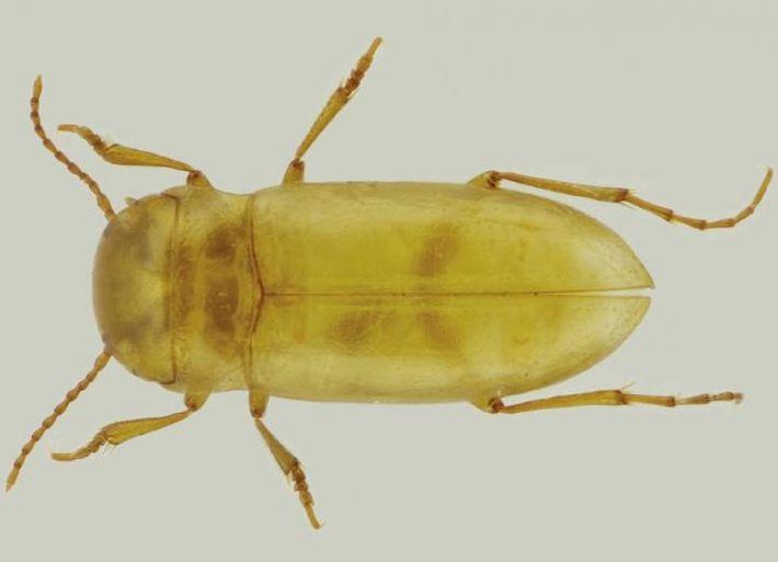 Escarabajo nueva especie