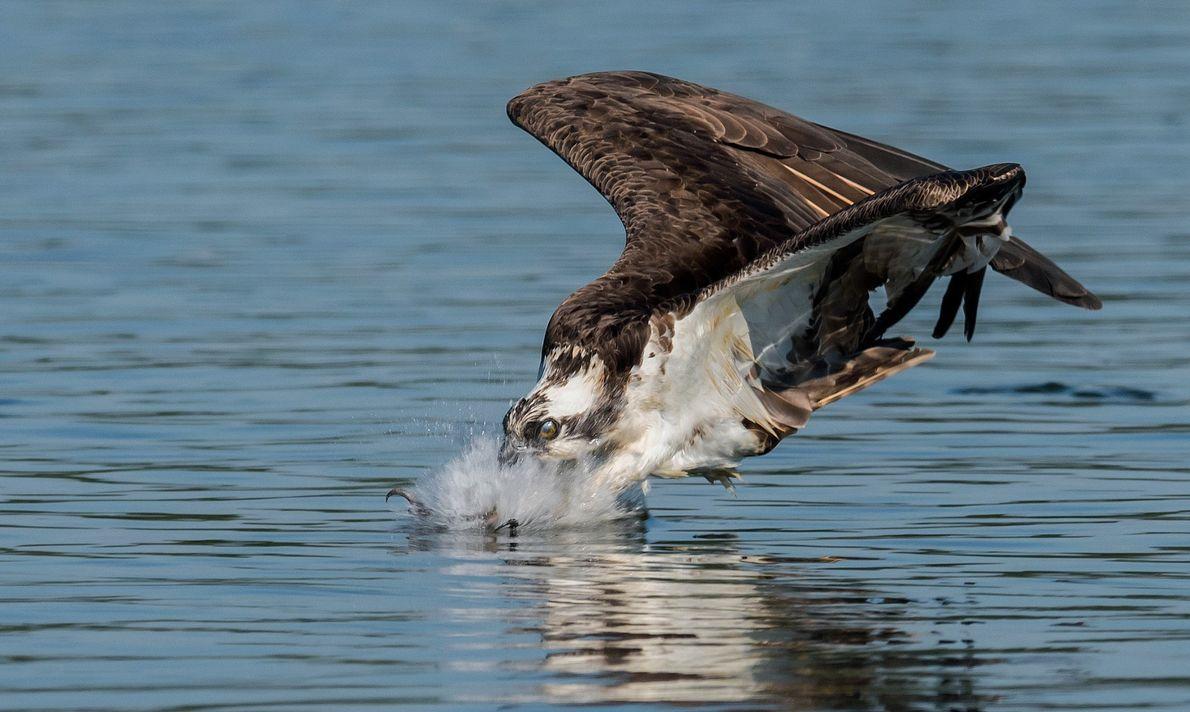 Un águila pescadora