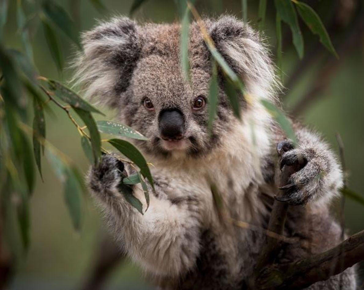 Koala de Victoria