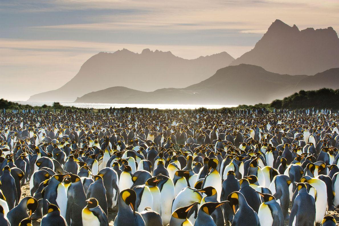 Una colonia de pingüinos
