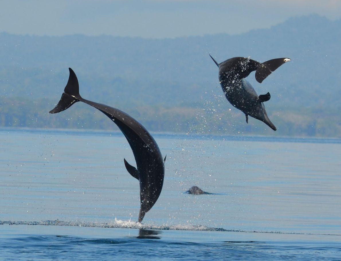 Delfines manchados tropicales
