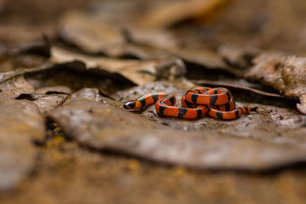 Bibron's coral snake, Calliophis bibroni, is one of the rarest snakes in the Western Ghats. This ...