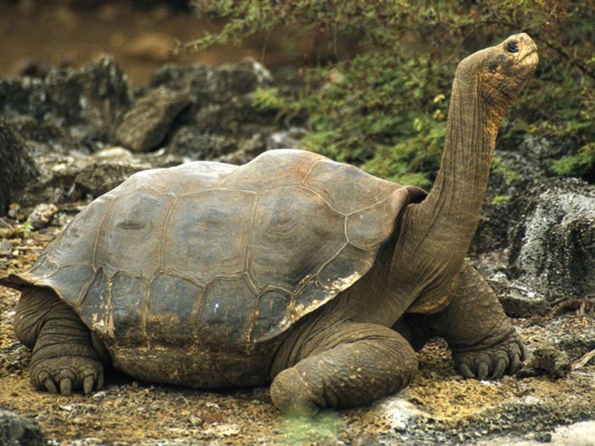 Tortuga de las Galápagos con el cuello extendido