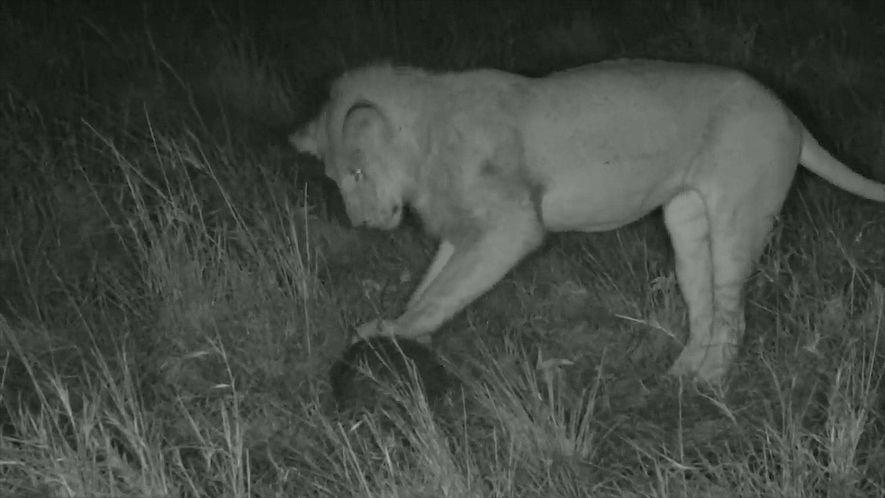 La rara interacción de un león con un pangolín