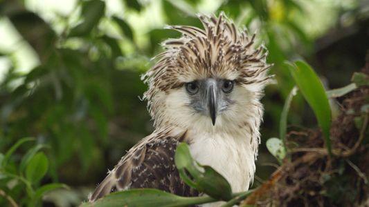 Así crece un águila monera, una especie en peligro de extinción
