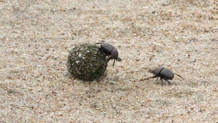 Dos escarabajos peloteros luchan por una bola de estiércol