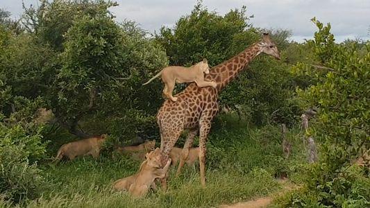 Una manada de leones intenta atacar a una jirafa adulta