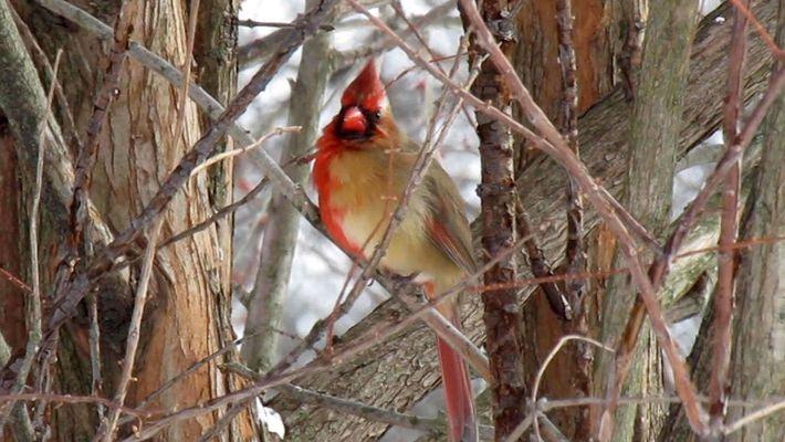 Este vídeo muestra un cardenal ginandromorfo