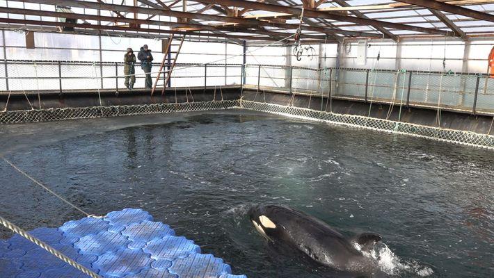 Casi 100 orcas y belugas cautivas corren el riesgo de ahogarse o congelarse