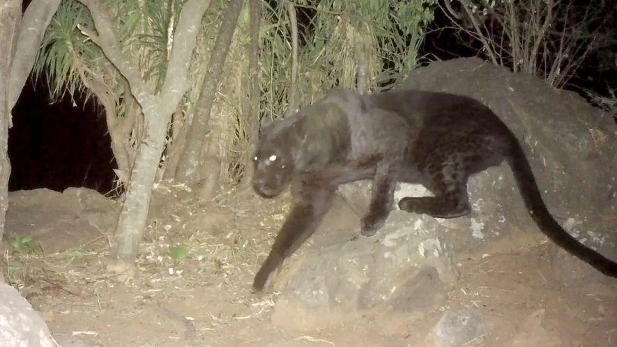 Cámaras remotas confirman la presencia de leopardos negros en Kenia