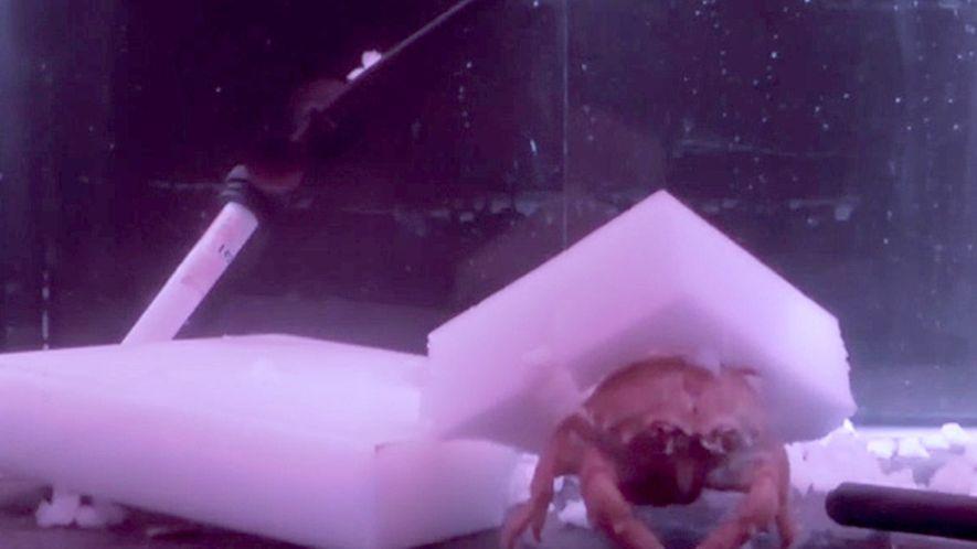 """Estos cangrejos se fabrican """"sombreros"""" con esponjas"""