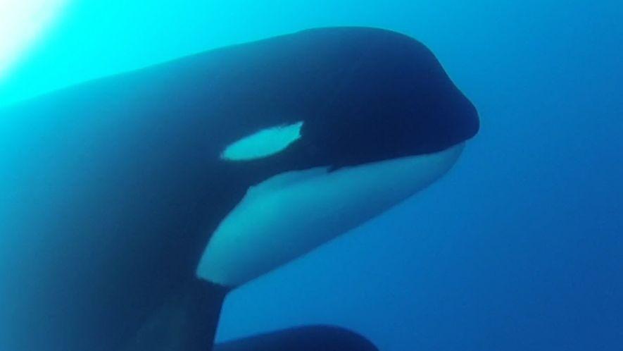 Avistan a las misteriosas orcas tipo D al sur de Chile