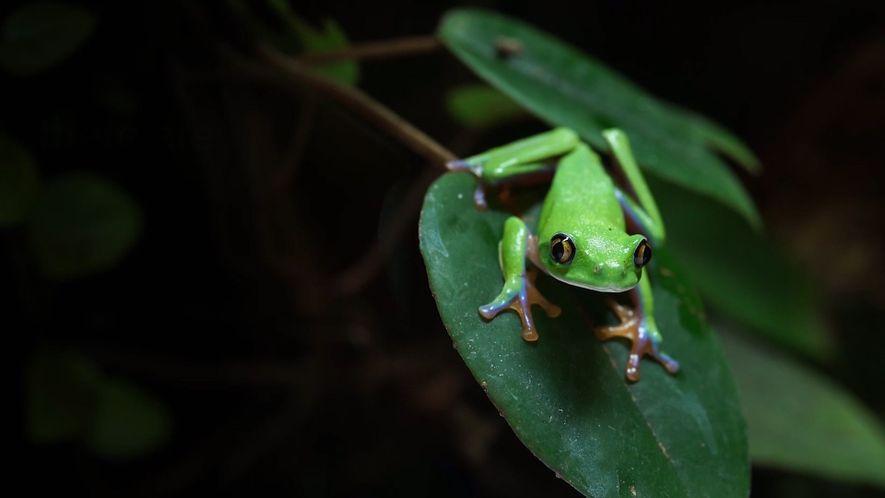 Los anfibios se arriesgan a una extinción en masa con la expansión de este hongo